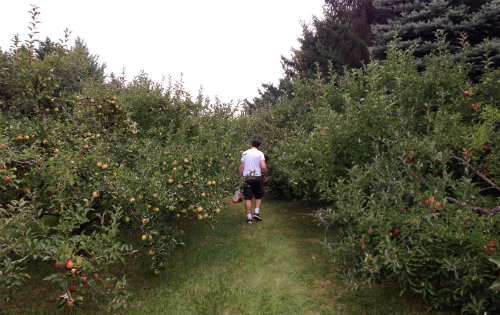 apple picking at more than delicious
